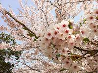 20120429sakura1.jpg