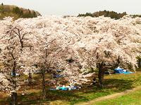 20120429sakura2.jpg