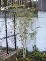 20101107aurantiacus.jpg