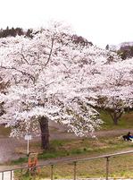 20130420sakura.jpg