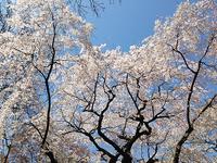 20140415sakura01.JPG