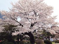 20140416sakura01.JPG