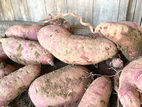 20181104sweetpotato02.jpg
