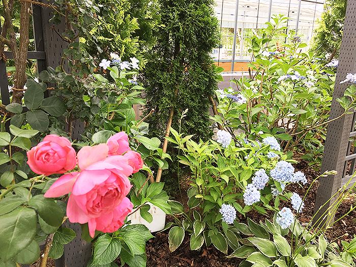 http://hiromu-saeki.com/blog/item/20180712rose02.JPG